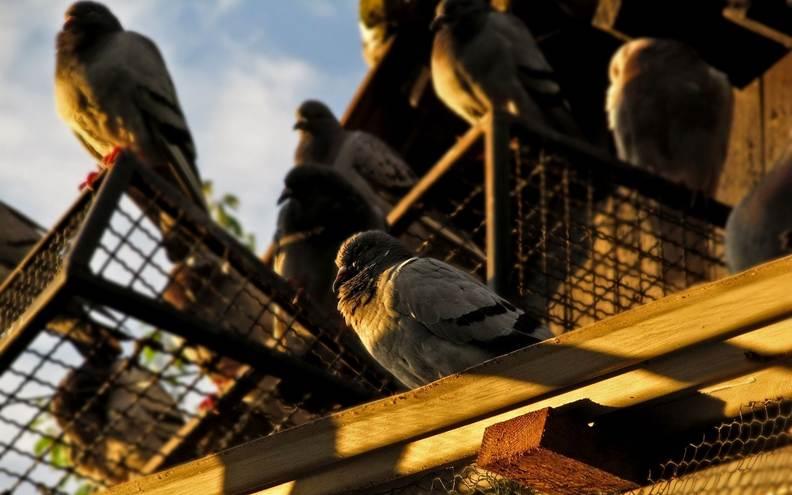 Ingrijirea porumbeilor de casa